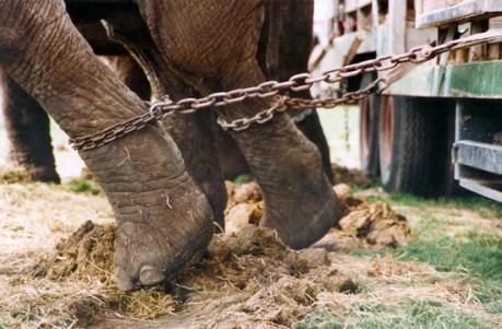 elefante in catene