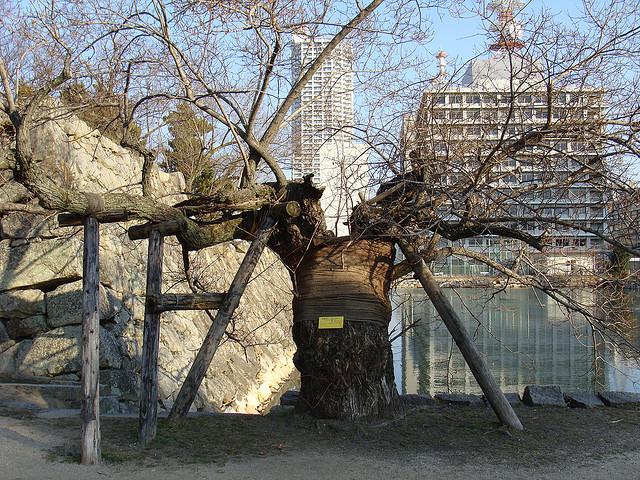 albero sopravvissuto di Hiroshima